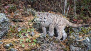 Puma, która zaatakowała biegacza, okazała się osieroconym kociakiem