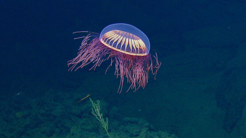 Meduza (OET/NautilusLive)