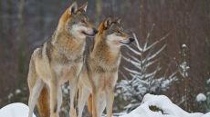 Pięciokrotnie wzrosła liczba wilków w Rosji. Wszystko przez ostatnie śnieżne zimy